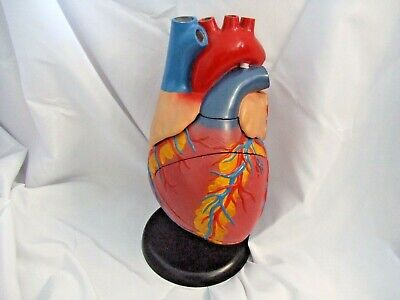 Vintage Very Large Heart Anatomical Model Excellent Condition See Pics