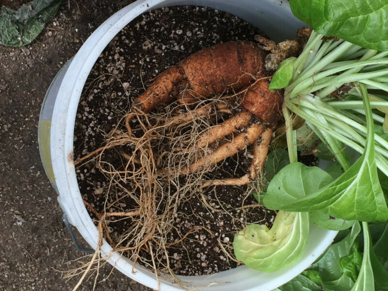 Mandrake Root Oil (Genuine) Mandragora Officinarum Leaf & Root Infused Oil 10ML