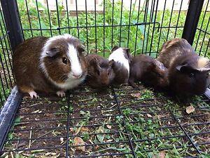 Guinea pigs Cessnock Cessnock Area Preview