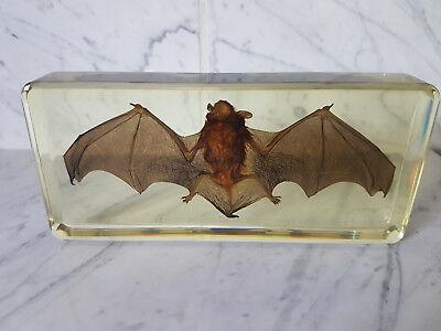 Echte Fledermaus Präparat in Kunstharz Rhinolophus affinis (T-FLE-010)