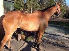 Super quiet educated reg.15.1hh 10yrs gelding Bonogin Gold Coast South Preview