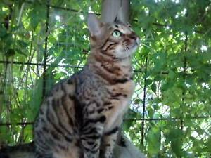 Purebred Brown Rosetted bengal female