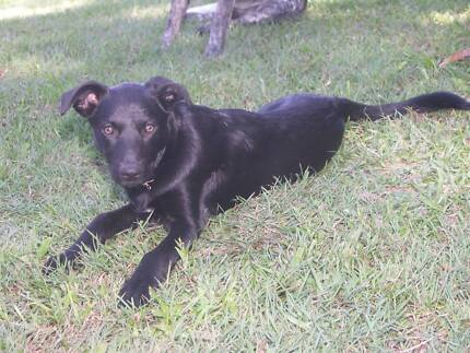 pure breed kelpie Nambour Maroochydore Area Preview