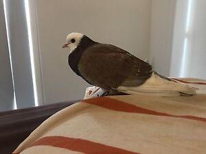 Found bird wyndhamvale Wyndham Vale Wyndham Area Preview