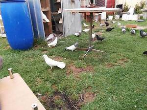 Pigeons for sale Keysborough Greater Dandenong Preview