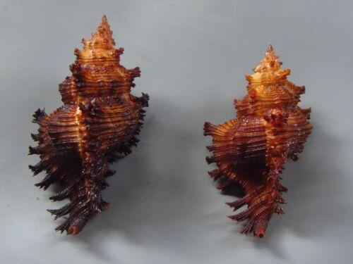 Sea shells - Chicoreus jessicae 67-78mm