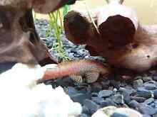 Bristle nose fish Rockdale Rockdale Area Preview