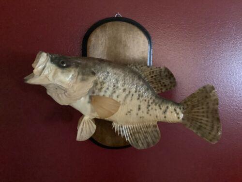 "Vintage real skin Crappie taxidermy 1976 - 4 Pounds 8OZ Kentucky Lake 141/2""-15"""