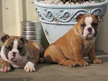 British Bulldog/Aussie Bulldog New Norfolk Derwent Valley Preview
