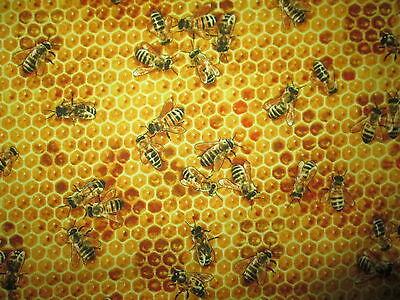 BEE HONEYCOMB BEES REALISTIC BUZZING YELLOW BLACK COTTON FABRIC BTHY ](Bee Buzzing)