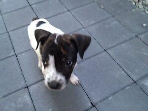 !!!!! URGENT!!!!! Staffs x puppy Perth Perth City Area Preview