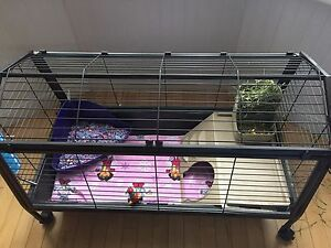 2 Guinea pigs with deluxe cage