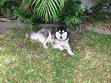 Pure Bred Female Husky Dog Moffat Beach Caloundra Area Preview