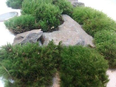 Desktop FAIRY GARDEN Miniature starter KIT Natural LIVE Mini MOSS w/ Real - Desktop Garden