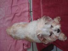 MALTESE X, SHIHTZU X POMERANIAN PUPPY FOR SALE Aspley Brisbane North East Preview