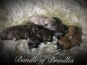 Beautiful Frenchton puppies for sale