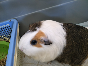 3 lovely guinea pigs (female) Corinda Brisbane South West Preview