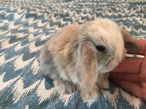 Beautiful baby Holland Lop bunnies! Super adorable and sweet!