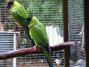 Nanday conures Morayfield Caboolture Area Preview