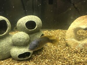 60 gallon aquarium and African Cichlids for sale
