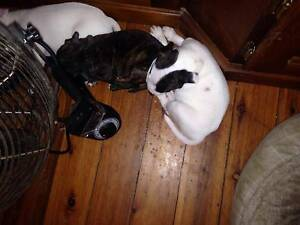 ENGLISH STAFFY BULL TERRIER PUPPIES Nowra Nowra-Bomaderry Preview