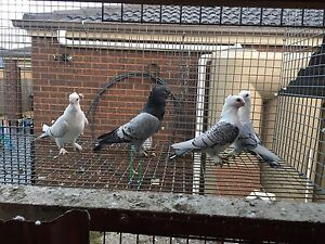 Pigeons Melton West Melton Area Preview