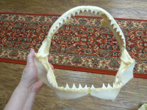 "(sj30-120-6) 14"" BULL SHARK A grade jaw teeth taxidermy love sharks ichthyology"