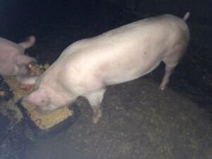 1 x sow pigs for sale Dublin Mallala Area Preview