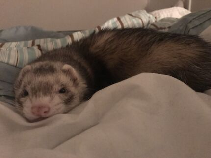 Wanted: Missing Ferret - Milue