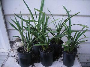 Cymbidium Orchid. 5 Tissue Culture Grown Plants, Unknown Colours.