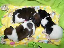 FOX TERRIER PUPPIES Standard Gympie Gympie Area Preview