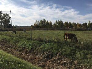 Veaux de champs pour la viande