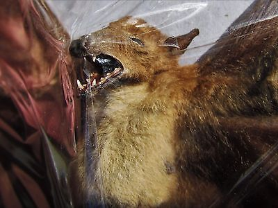 Dagger-toothed Long-nosed Fruit Bat Macroglossus minimus Spread FAST SHIP USA
