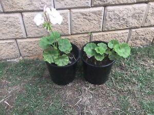 White/pink geranium plants $8 the lot