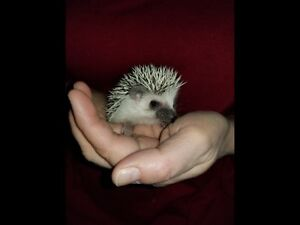 Baby hedgehog for sale