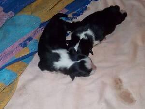 Border collie pups Bouldercombe Rockhampton Surrounds Preview