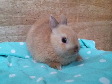 Orange Japanese Harlequin Netherland Dwarf Rabbits