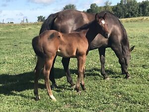 Appaloosa | Horses, Ponies for Sale or Adoption in Ontario