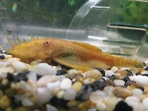 WHY PAY MORE?Longfin Albino, Albino and Common Bristlenose 4 sale O'Halloran Hill Marion Area Preview