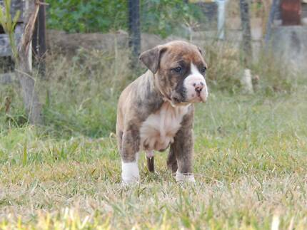 Purebred American Staffy puppies - Full mains registration Silverdale Wollondilly Area Preview