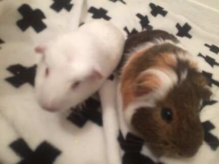 2 girl guinea pigs with cage and ect