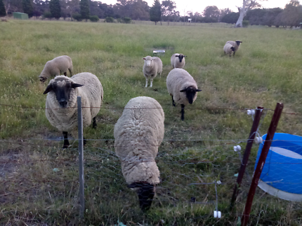Ewes and lambs for sale