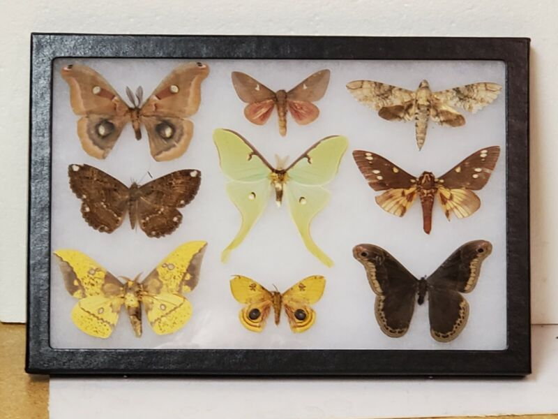 Real framed Worldwide Moth Collection