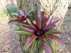 Neoregelia Iris, schöne kleine Bromelie,mit Ableger