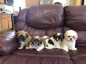 READY NOW!! Teddy Bear Shichon Puppies!!