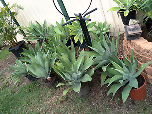 Agaves and yuccas Crestmead Logan Area Preview