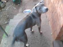 American blue Staffordshire female Leumeah Campbelltown Area Preview