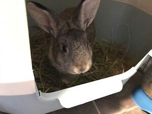 Rehome Rabbit ASAP