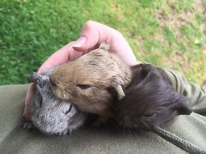 Baby Guinea Pig Pair (bonded pair) Mulbring Cessnock Area Preview