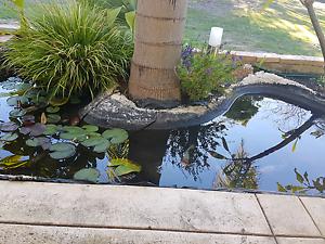 Koi carp fish ( fantails!) & water plants for SALE Rockingham Rockingham Area Preview